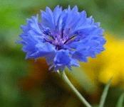 blueflower-featured